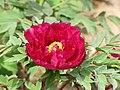 日本牡丹-島大臣 Paeonia suffruticosa Shimadaijin -武漢東湖牡丹園 Wuhan, China- (12452319523).jpg