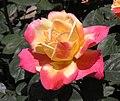 月季-榮光 Rosa chinensis -上海共青森林公園 Shanghai, China- (9255190032).jpg