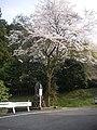 桜(屋敷平開拓の碑) - panoramio.jpg