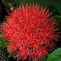 火球花 Haemanthus multiflorus (Tratt.) Martyn. ex Willd. - panoramio.jpg