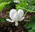 荷包牡丹 Dicentra (Lamprocapnos) spectabilis v alba -比利時 Leuven Botanical Garden, Belgium- (9237445963).jpg