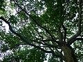 蔡元培館旁巨樹 - panoramio.jpg