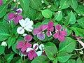 迷你非洲鳳仙花 Impatiens walleriana Mini Hawaiian Series -香港北區花鳥蟲魚展 North District Flower Show, Hong Kong- (9198167345).jpg