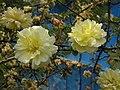 黃刺玫-重瓣 Rosa xanthina -大連星海公園 Dalian, China- (9216128734).jpg