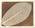 -Leaf- MET DP167360.jpg