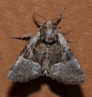 <i>Meropleon ambifusca</i> species of insect