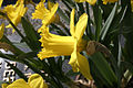 - Narcissus pseudonarcissus 04 -.jpg