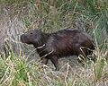 060401 capibara1 IB - Flickr - Lip Kee.jpg