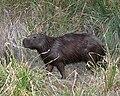 060401 capibara1 IB - Flickr - Lip Kee.jpg