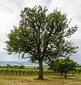 064 2015 05 25 Speierling am Hohlweg (Wiki Loves Earth 2015).jpg