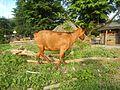 09409jfCattle goats grasslands Roads San Miguel, Bulacanfvf 12.jpg
