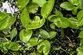 1024 Drachenwurz (Calla palustris)-2280.jpg