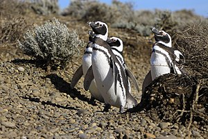 Penguin - Magellanic penguins (Spheniscus magellanicus). The closed neck collar denotes this species.