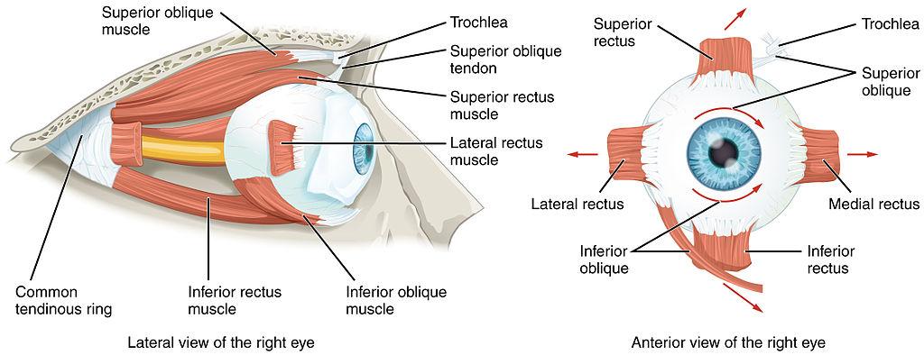 Basic Eye Anatomy Potthoff Eye Care And Surgery