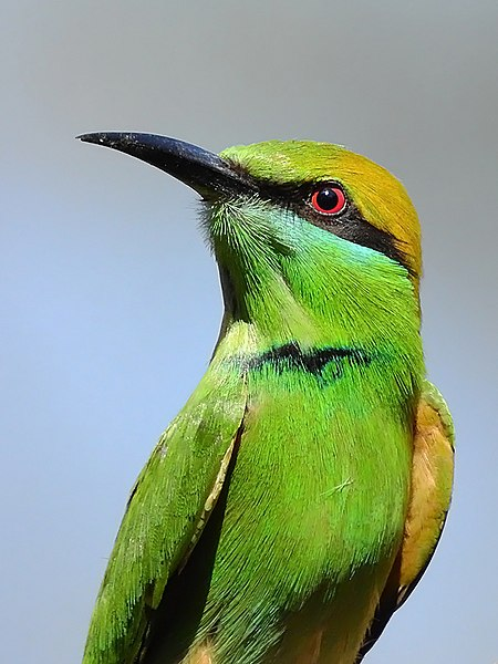 File:17. Close-up of Green bee-eater (Merops orientalis) Photograph by Shantanu Kuveskar.jpg