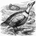1911 Britannica-Bird- Somateria labradora.png