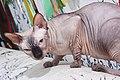 1 adult cat Sphynx. img 025.jpg