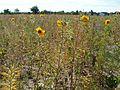 20110703Wildes Rapsfeld Ketsch8.jpg