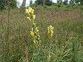 20120624Linaria vulgaris5.jpg