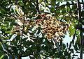 20121003 UBCBG Sorbus Glabriuscula.jpg