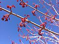 2013-04-18 15 18 35 Freeman's Maple flowering in Elko, Nevada.JPG