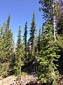 2013-08-02 11 06 59 Forests along the Snowslide Gulch route to the Matterhorn in Nevada.jpg