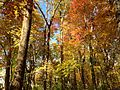 2014-10-30 13 19 24 Trees during autumn in the woodlands along the West Branch Shabakunk Creek in Ewing, New Jersey.JPG