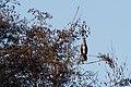 20140105 010 Kessel Weerdbeemden Aalscholver, Great Cormorant, Kormoran, Phalacrocorax carbo (11785324234).jpg