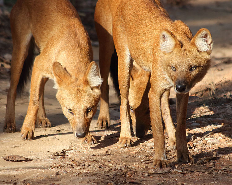 File:20140303 7589 Pench Dhole.jpg