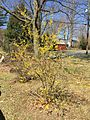 2015-04-12 11 14 07 Forsythia beginning to bloom on Terrace Boulevard in Ewing, New Jersey.jpg