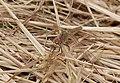 2015.05.24.-18-Buchklingen--Fruehe Heidelibelle-Weibchen.jpg