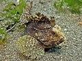 2015 09 Bali 81 another waspfish (22080760862).jpg