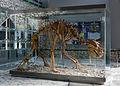 2015 Jaskinia Niedźwiedzia w Kletnie, szkielet niedźwiedzia jaskiniowego 06.JPG