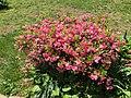2016-05-12 13 00 39 'Rosebud' Azalea blooming along Terrace Boulevard in Ewing, New Jersey.jpg