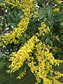 2017-06-22 17 29 19 Goldenrain Tree blossoms along Kinross Circle near Ravenscraig Court in the Chantilly Highlands section of Oak Hill, Fairfax County, Virginia.jpg