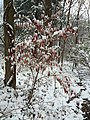 2017-12-10 08 21 32 A snow-covered Black Cherry sapling along a walking path on the morning after a wet snowfall in the Franklin Farm section of Oak Hill, Fairfax County, Virginia.jpg