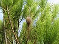 2018-01-16 Processionary pine caterpillar silk nest, Albufeira (2).JPG