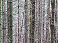 2018-08-11 (184) Trees at Tirolerkogel, Annaberg, Austria.jpg