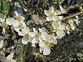 20190320 Prunus cerasifera 09.jpg