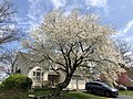 2020-04-05 12 53 22 Cherry blooming along Stone Heather Drive in the Chantilly Highlands section of Oak Hill, Fairfax County, Virginia.jpg
