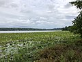 2020-08-16 16 50 12 View across a large patch of American Lotus in Swartswood Lake within Stillwater Township, Sussex County, New Jersey.jpg