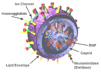 Influenza pandemic - Structure of the influenza viron. The hemagglutinin (HA) and neuraminidase (NA) proteins are shown on the surface of the particle. The viral RNAs that make up the genome are shown as red coils inside the particle and bound to Ribonuclear Proteins  (RNPs).