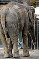 50 Jahre Knie's Kinderzoo - Elephas maximus 2012-10-03 15-40-19.JPG