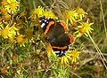 A Late Red Admiral - geograph.org.uk - 577543.jpg
