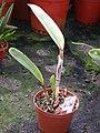 A and B Larsen orchids - Brassolaeliocattleya Normans Bay Lows Dscn4190.jpg