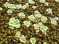 A auriculata, planta nativa do Caribe, tem folhas mais pilosas e com uma pequena curvatura, podendo dar a impressão de que as folhas são independentes. - panoramio.jpg