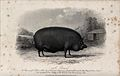 A boar. Etching by J. Scott, ca 1850, after W.H. Davis. Wellcome V0021671.jpg