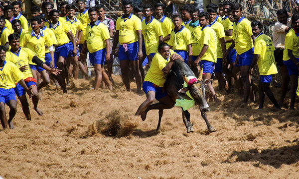 Jallikattu - A traditional sport conducted as a part of Pongal celebrations. A bull being tamed in Jallikattu held in palamedu.jpg
