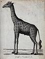 A giraffe. Etching by P. Mazell. Wellcome V0020895.jpg