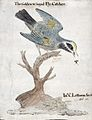 A golden-winged flycatcher (bird) catching an insect. Waterc Wellcome L0023720.jpg